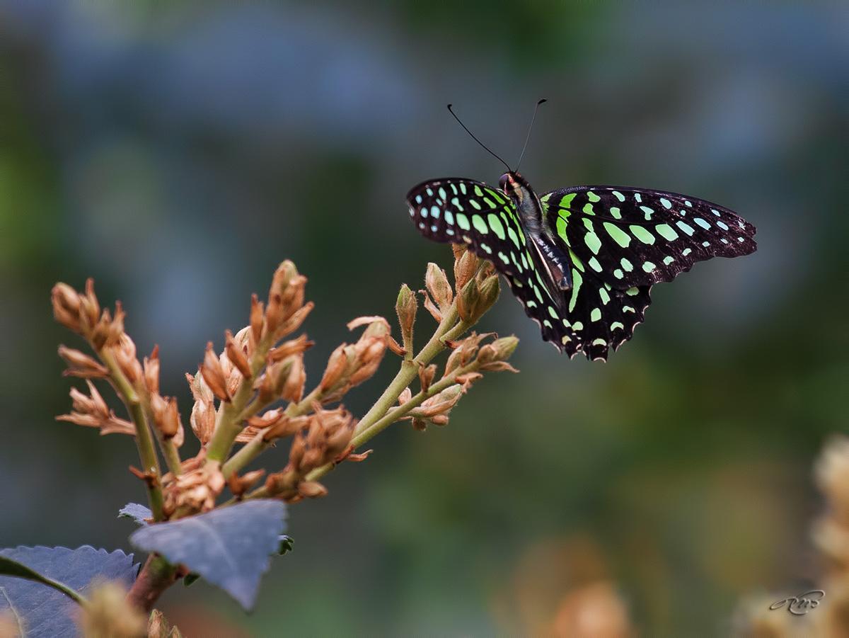 Papillon 2977