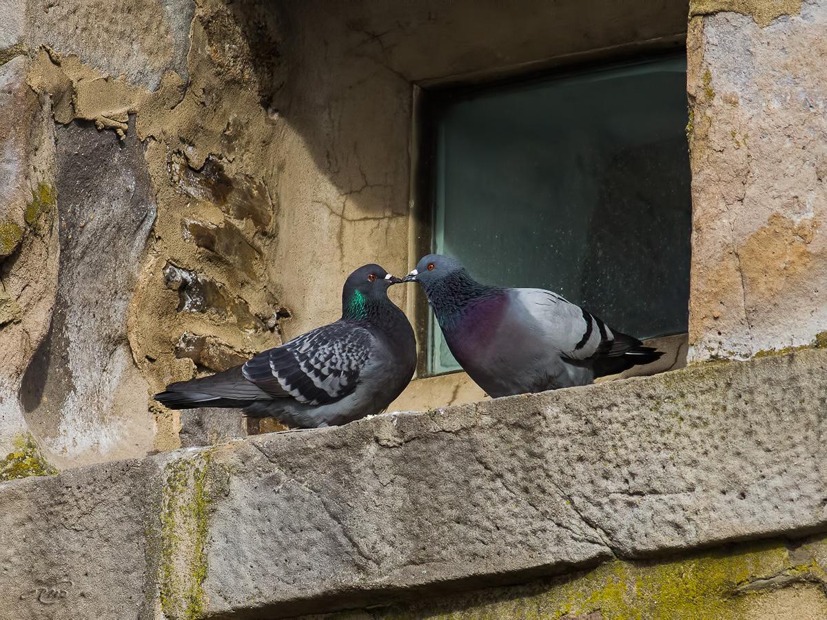 Pigeon bizet 2659