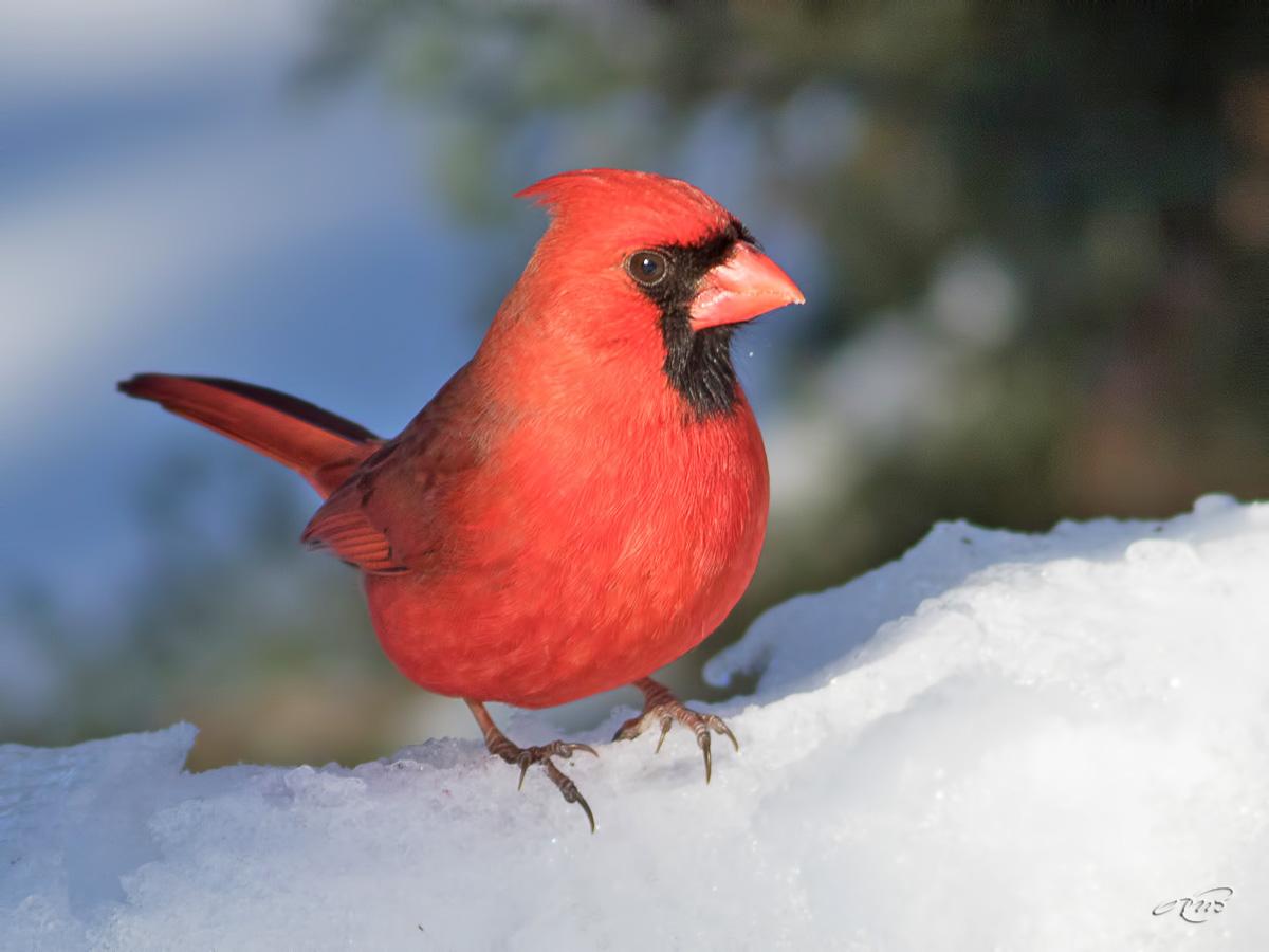 cardinal-1I5A1033