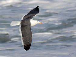 Goéland_d'Audubon-1I5A9144