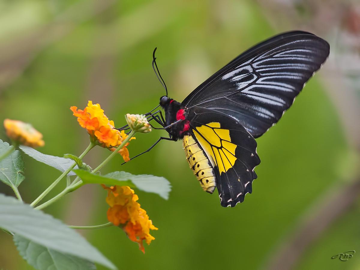 Papillon 3284
