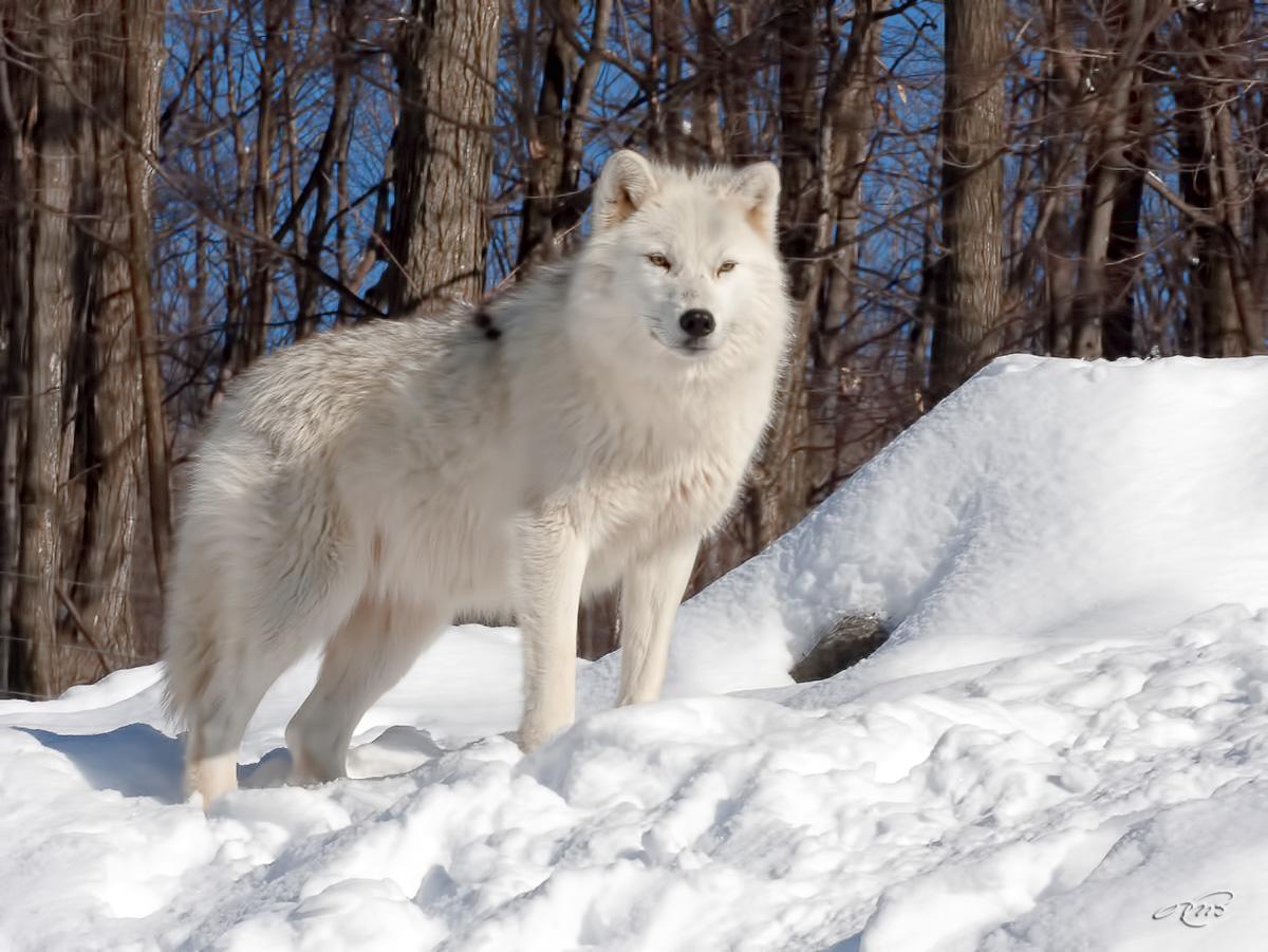 Loup artique 6095