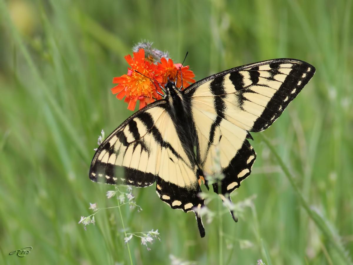 Papillon tigré du Canada 2072