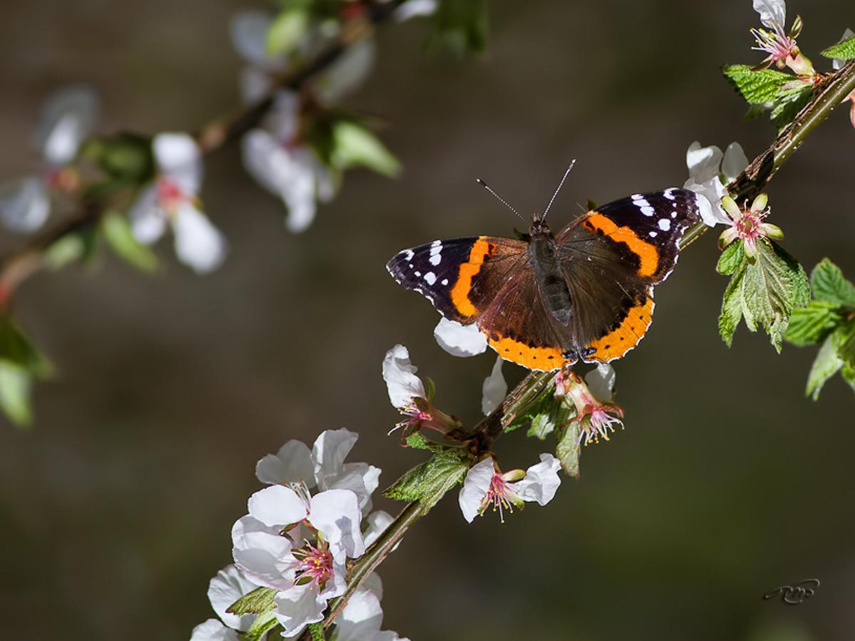 Papillon Vulcain 5394