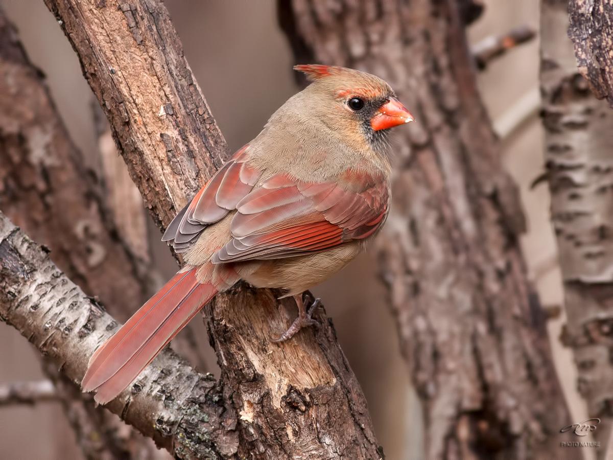 Cardinal rouge 9673