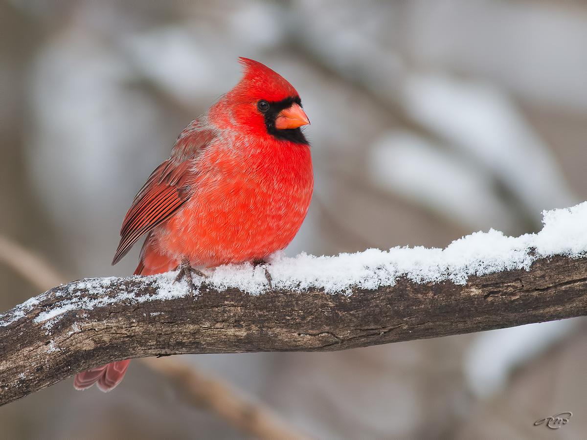 Cardinal rouge 7998