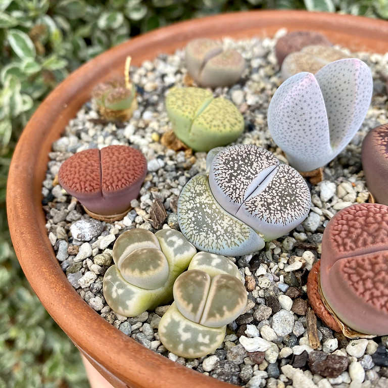Make your own lithops garden workshop