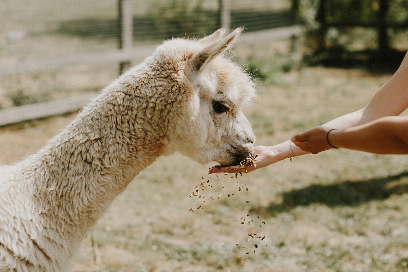Wedding guest feeding Alpaca