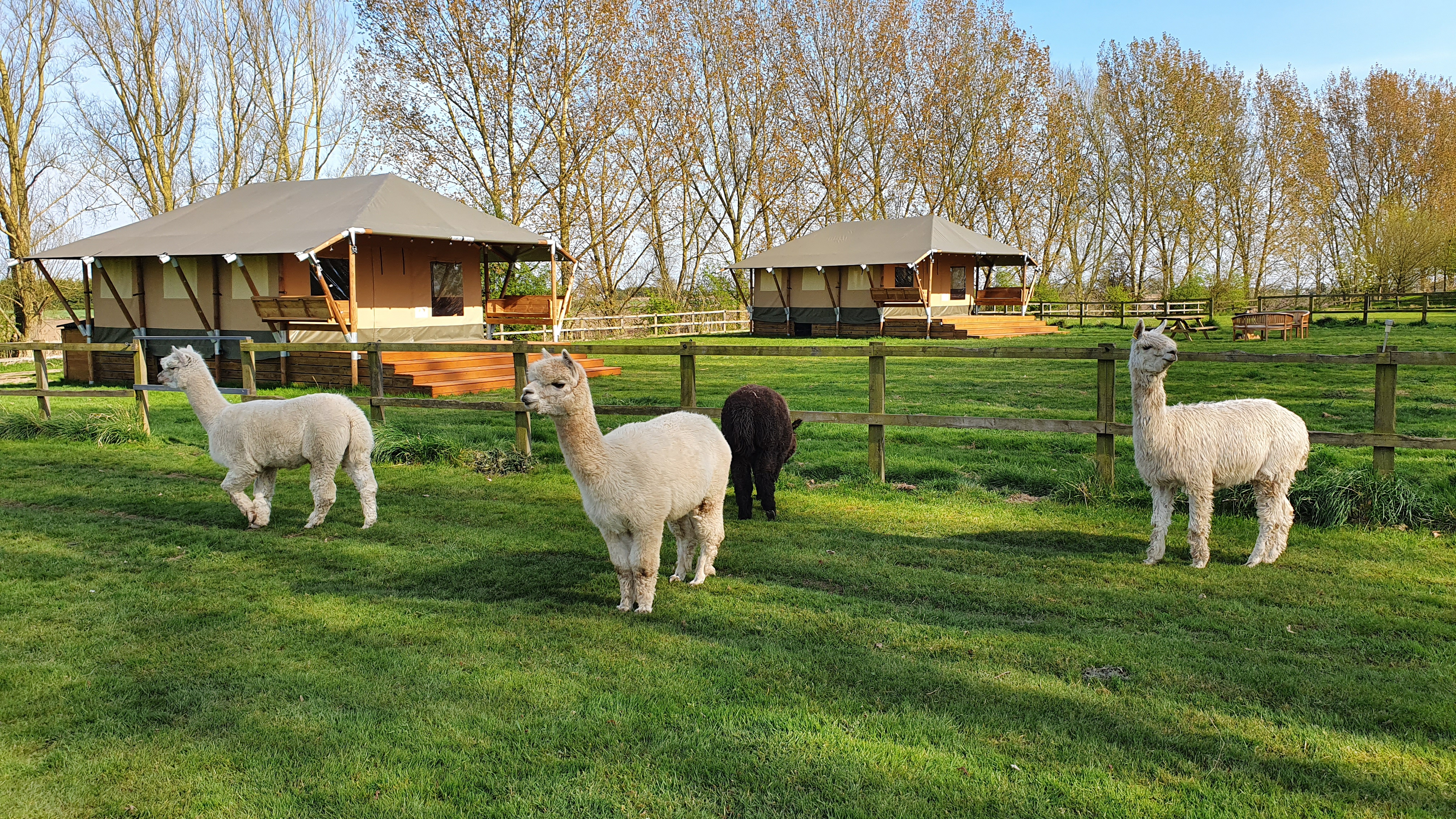 Alpacas by the Safari Lodges