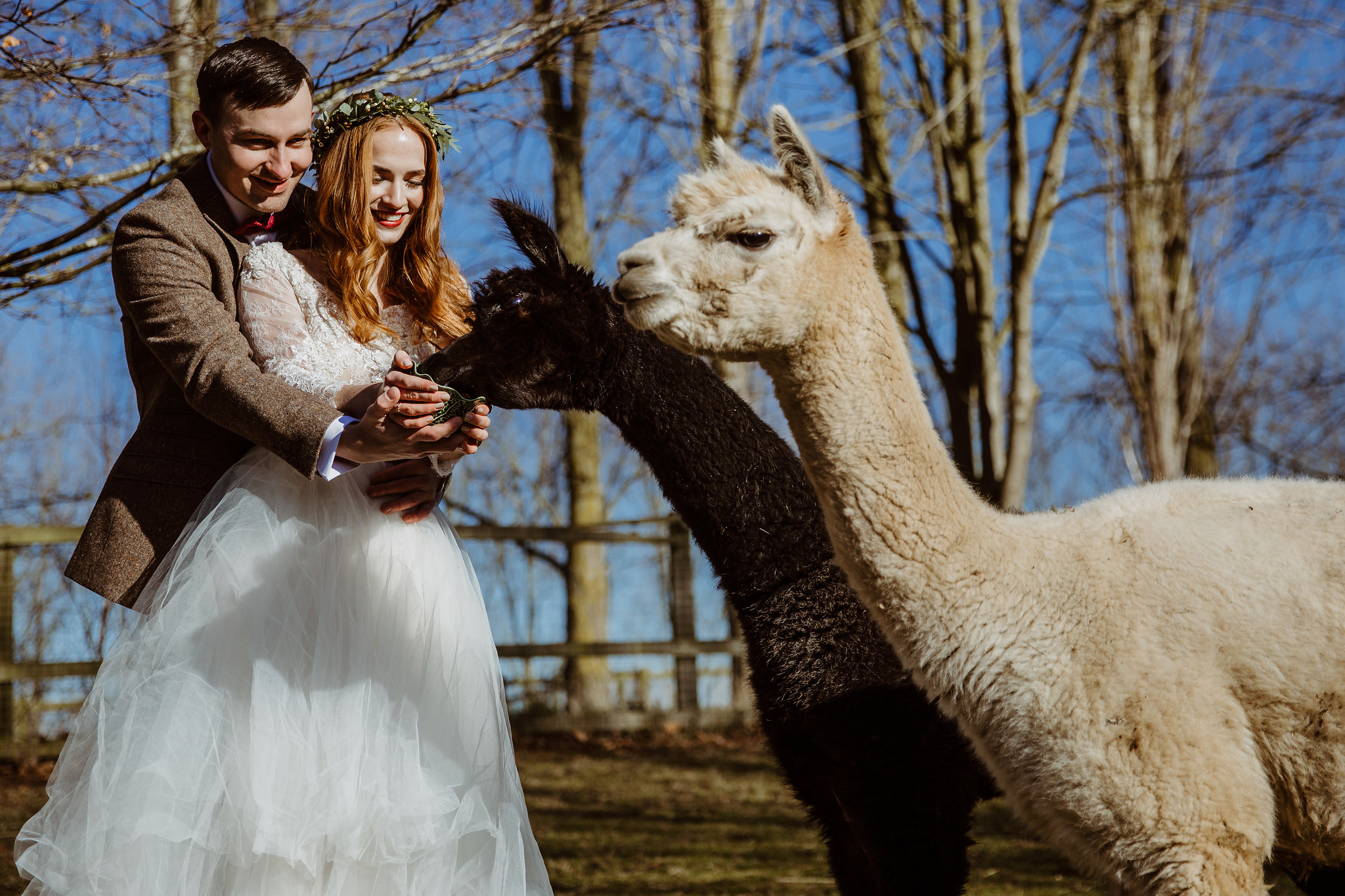 Alpacas at wedding