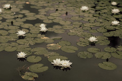 Water lilies at wedding