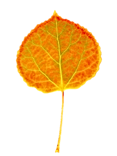 kisspng-leaf-plant-stem-leaf-aspen-5b3ea
