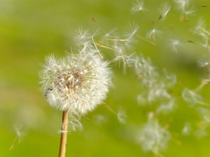Be Fruitful and Useful As Dandelions