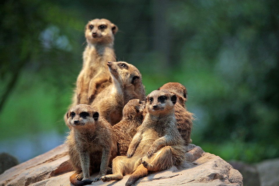 Some meerkats searching for new MAP co-directors