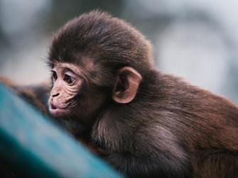Maymunlar Taş, Kağıt, Makas Oynayabilir mi?