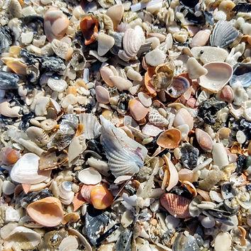 SC shells (2).jpg