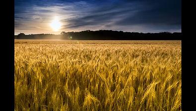 3-15-2020 Rob: Wheat Field
