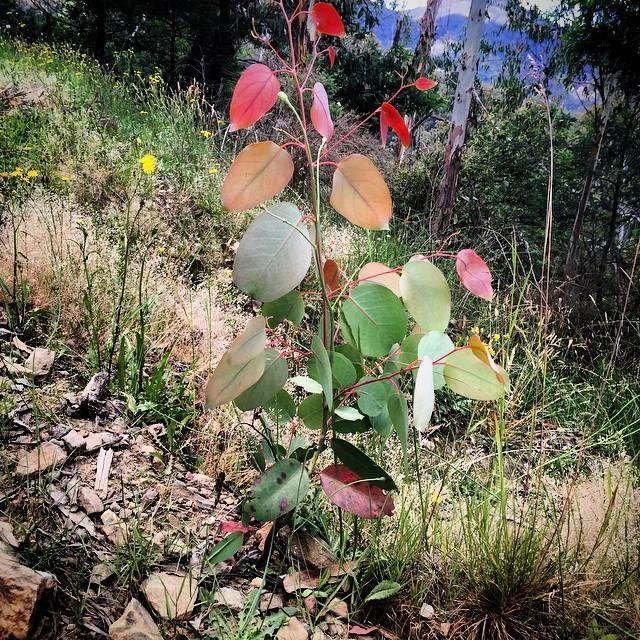 Rainbow sapling