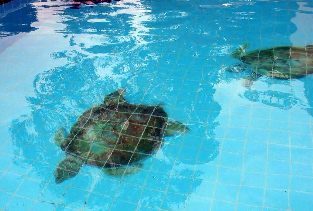 Tartarugas na piscina