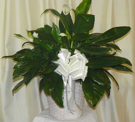 Peace Lily (Spathaphilium)