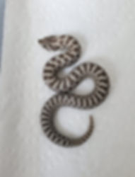 Available Western Hognose