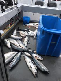 Solid coho fishing