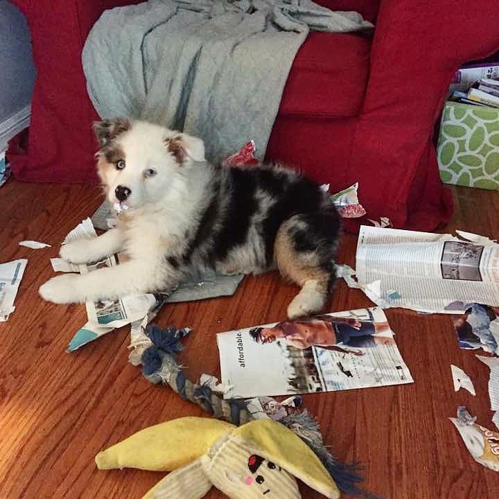 Destructive puppy