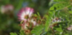 Campano, algarrobillo (Albizia saman)