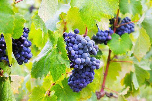 Tipos de Uvas Vinos Mexicanos