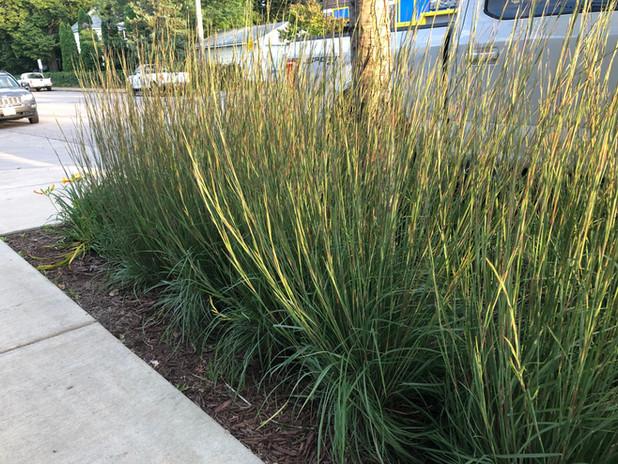 Bluestem Ornamental Grass