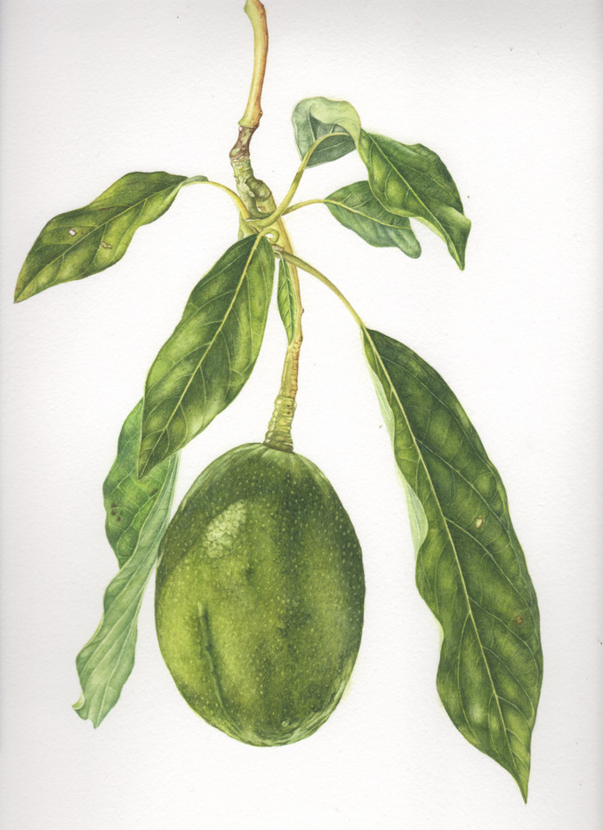 Avocado & Leaves
