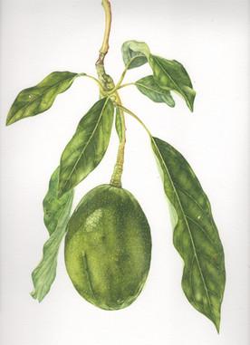Avocado & Leaves