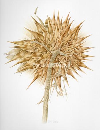 Dried Cardoon