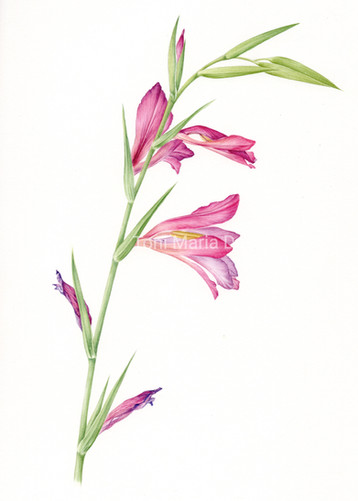 Wild Gladiolus
