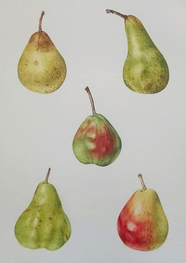 Two & a Half Pairs of Pears