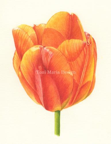 Red/Orange Tulip
