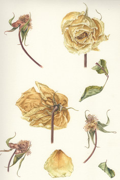 Dried White Roses