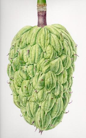 Magnoloia Seed Pod 2
