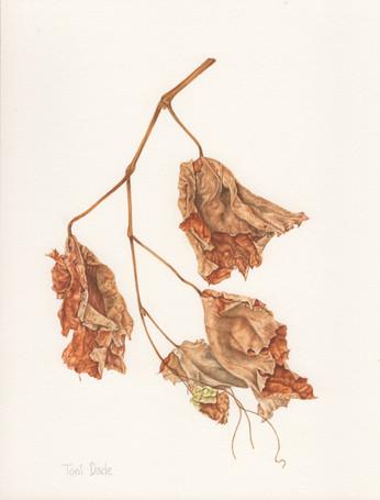 Dried Vine Leaves