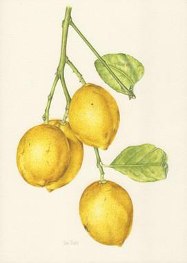 Lemons for Alison