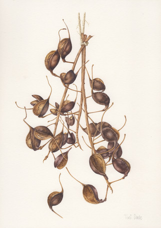 Silky Oak Seeds