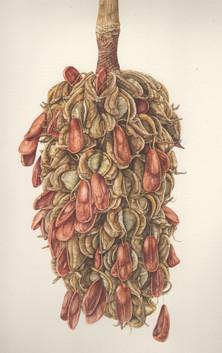 Magnolia Seed Pod 3