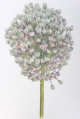 Fading Allium