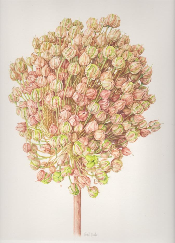Dried Allium