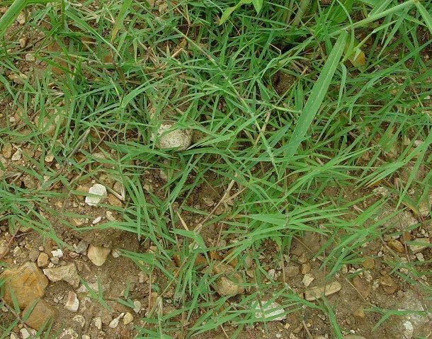 Couchgrass
