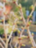 Prunus Kojo-no-mai Buds.jpg