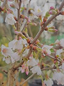 Prunus Kojo-no-mai 2L.jpg
