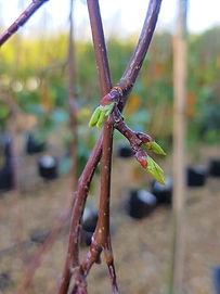 Prunus bud.jpg