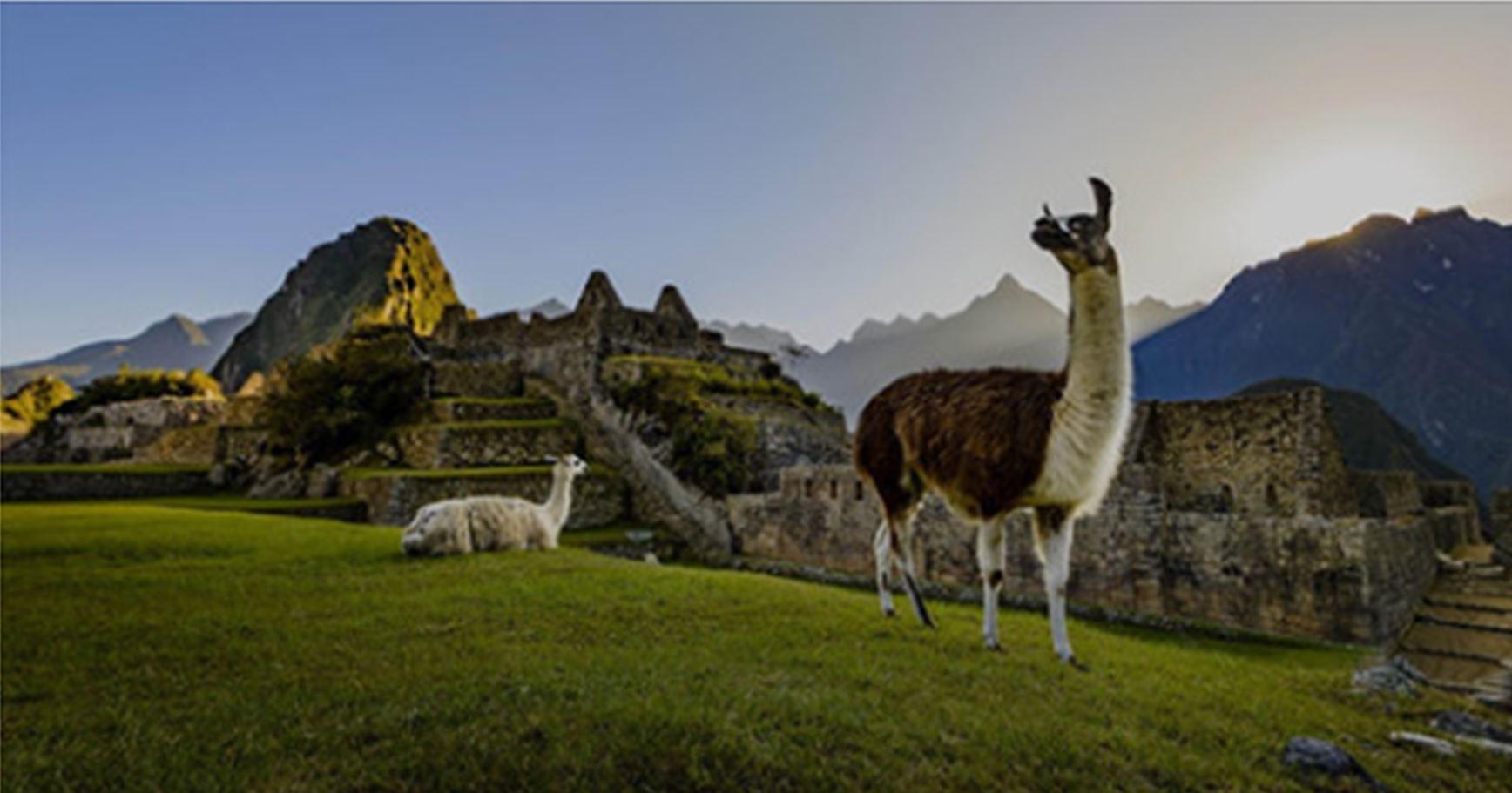 Meet the Resort Alpacas