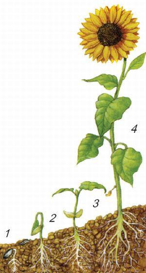 Արևածաղկի կյանքը սկսվում է սերմից. նախ ծլում է արմատից (1), ապա հողի վրա ի հայտ է գալիս ընձյուղը (2), այնուհետև գոյանում են առանձին տերևները (3), որոնցից առաջանում է ծաղկաբույլը (4):